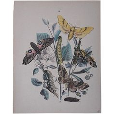 Antique Chromolithograph Butterflies/Moths ($75) ❤ liked on Polyvore featuring home, home decor, wall art, antique home decor, butterfly wall art, antique wall art, butterfly home decor and antique lithograph