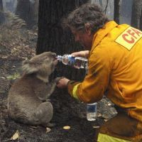 Classic photo--koala Sam receives water from firefighter David Tree after a wildfire