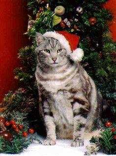 christmas kitten cat lovers beautiful christmas cats and kittens christmas holidays christmas vacation cats