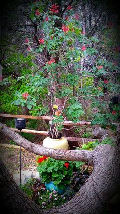 My beloved Mexican Buckeye.