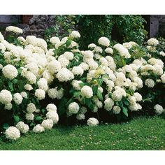 The Gorgeous Hydrangea: Full Introduction, Care and Tips - Garten Beautiful Gardens, Beautiful Flowers, Hydrangea Arborescens Annabelle, Front Yard Flowers, Smooth Hydrangea, Tarot Gratis, Laurel, Shade Flowers, Garden Whimsy