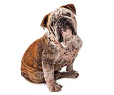 Puppy mange sounds scary, but it is actually quite common and usually not dangerous -- and some of the most effective treatments are very simple. Ask A Vet, Dog Behavior, Pet Health, Dog Lovers, Puppies, Canning, Pets, Animals, Cubs