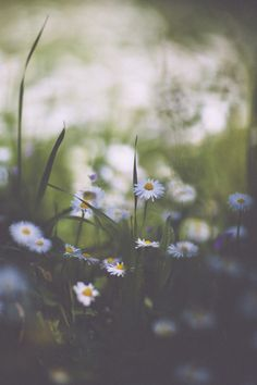 daisies #flowers #nature #photography