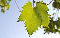 Grape Wallpaper, Nature Desktop Wallpaper, Leaf Silhouette, Grape Vines, Natural Remedies, Herbalism, Art Projects, Plant Leaves, Flora