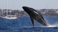 A humpback whale breaches off Manly today. #Sydney #Australia