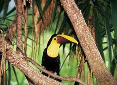 The toucan at Golfo Dulce #CostaRica #Fauna