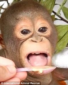 Open wide: Budi had been unable to even open and close his mouth but is now feeding well a...