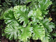 Asplenium scol. 'Laceratum Kaye' - winterhart