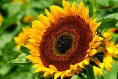 "All sizes   Sunflower ""Taiyo""   Flickr - Photo Sharing!"