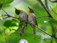 Oriental white eye birds.... if it doesn't work to have them in flight, I like these two snuggling up together :)
