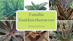 Familia Xanthorrhoeaceae - Plantas Suculentas Cactus Y Suculentas, Plants, Gardening, Garden, World, Flowering Plants, Mail Boxes, Succulent Plants, Herbs