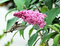 Butterfly Bush also attracts hummingbirds
