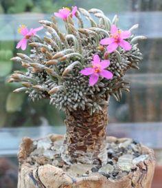 Avonia quinaria ssp. quinaria