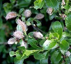 Sølvvier – Wikipedia Lappland, Rocky Mountains, New Mexico, Latina, Alaska, Flora, Plants, Plant, Planets