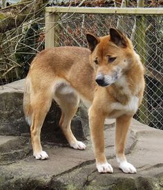 New Guinea Singing Dog. I named him Frodo. (Nice LOTR reference, right?)