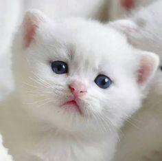 Adorable white kitten with blue eyes