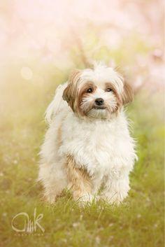 Power Puff - Shih Tzu - Mix #dog #sping #powderpuff #shihtzu #lovely