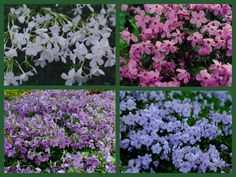 perenial ground cover that can be walked on | Flowering Wintergreen Ground Covers for Shade | CAROLYNS SHADE ...