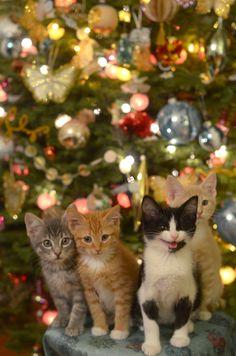 Christmas cats for a christmas card christmas kitty, cats in christmas trees, christmas Pretty Cats, Beautiful Cats, Animals Beautiful, Christmas Kitten, Christmas Animals, Merry Christmas, Christmas Morning, Funny Christmas, Family Christmas