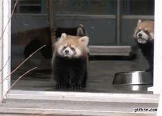 post-61109-Scared-Red-Panda-Firefox-Has-C-ApNj.gif (366×265)