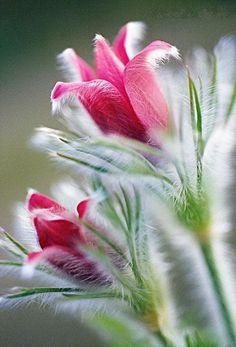 Pasque flower - Pulsatilla sp.
