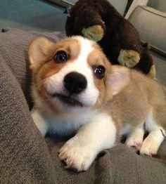 The Daily Corgi: Geordi: Puppypants Perfection!