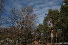 Robles y pinos frente a frente | Flickr: Intercambio de fotos
