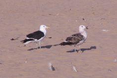 Kelp Gull -Grootswartrugmeeu-