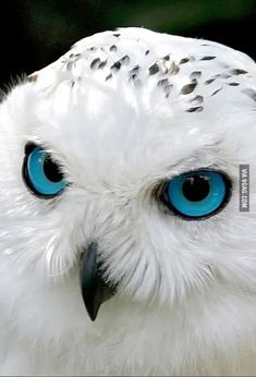 Image Beautiful, Beautiful Owl, Animals Beautiful, Cute Animals, Snow Owl, Photo Oeil, Photoshopped Animals, The Meta Picture, Owl Eyes