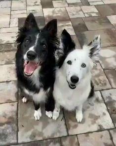 Funny Dog Videos, Funny Animal Memes, Dog Memes, Funny Dogs, Cute Little Animals, Cute Funny Animals, Gato Gif, Cute Animal Videos, Cute Dogs And Puppies