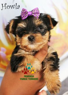 Available Micro Teacup Yorkies* Toy Yorkie Puppies* Yorkie Terrier Puppies *Parti Yorkie Puppies *Chocolate Yorkie Puppies *Merle Yorkie Puppies *Socal Yorkie Teacup Puppies Pomeranian Puppies For Free, Teacup Yorkie For Sale, Yorkies For Sale, Yorkie Puppy For Sale, Yorkie Puppies, Tiny Puppies, Terrier Puppies, Cute Puppies, Yorkie Breeders