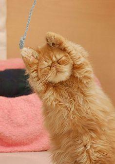 Persian kitties