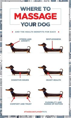 Dachshund puppies care Buddys Guide on where to massage your dog and the health benefits for each. The Secret Life of Pets In Theaters July 8 Dog Health Tips, Pet Health, Mental Health, Health Care, Cesar Millan, Secret Life Of Pets, Dachshund Love, Daschund, Dachshund Puppies