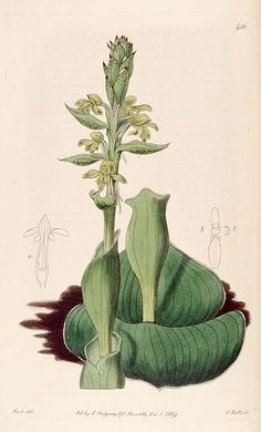Satyrium bicorne (as Satyrium cucullatum) - Bot. Reg. 5 pl. 416 (1819). Satyrium bicorne is a species of orchid endemic to southwestern and northern Cape, SOUTH AFRICA. It is the type species of the genus Satyrium. Common names: Goue-trewwa (a), Langtrewwa (a), Ouma-trewwa (a), Trewwa (a)
