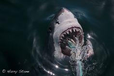 White shark breaking the surface