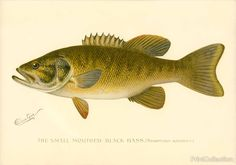 Wonderful drawing of the Small Mouthed Black Bass. (Micropterus Dolomieu.)