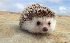 Adventure is Out There! Explore the World with Biddy the Hedgehog (PHOTOS) Cool Pet Names, Animals And Pets, Cute Small Animals, Wild Animals Photos, Baby Animals, Adorable Animals, Wig Hairstyles, Hedgehog Names, Pygmy Hedgehog