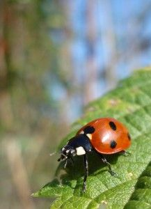 Attracting Beneficial Insects: Ladybugs