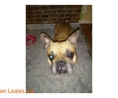 Acogida temporal o en adopción ℹ   #Adopta con #Canarias7  Se necesita acogida o ADOPCIÓN para este bulldog o alguien que se haga cargo. Es macho muy bueno y tranquilocastrado.   En todos los navegadores: Leales.org y en todas las redes sociales: @lealesorg y #LealesOrg  #Adopta con #Faunario   #Adopción  Contacto y Info: Pulsar la foto o aquí: https://leales.org/en-acogida-o-adopcion/perros-en-adopcion/acogida-temporal-o-en-adopcion_i4245    Acerca de esta publicación:   Esta publicación NO…