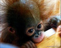 """Os Chimpanzés são fofinhos quando filhotes, mas podem ser perigosos quando adultos!<a class=""""spell"""" href=""""https://www.google.com.br/search?es_sm=122&q=filhote+chimpanz%C3%A9&spell=1&sa=X&ei=DuDfU9y9OaHesATO7oC4BA&ved=0CBsQvwUoAA""""><b><i><br /></i></b></a>"""