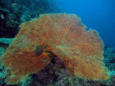 gorgonian coral | Image 18 of 45