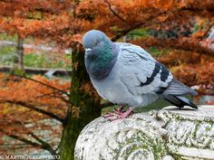pigeon by Martín Pérez on 500px