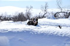 Dog in the snow. Winter Time, Finland, Reindeer, Snow, Landscape, Dogs, Nature, Animals, Outdoor