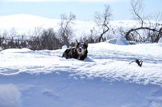 Lapponian Herder. Dog in the snow. Kiilopää, Saariselkä. Finnish Lapland.