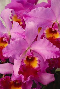 Hawaii Cluster Of Pink Cattleya Orchids Canvas Art - Allan Seiden Design Pics x Types Of Flowers, All Flowers, Exotic Flowers, Tropical Flowers, Pretty Flowers, Colorful Flowers, Lilies Flowers, Cactus Flower, Purple Flowers