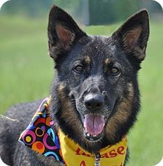 Pictures of Skyler a German Shepherd Dog for adoption in Houston, TX who needs a loving home. German Shepherd Dogs, Beautiful Soul, Four Legged, Pet Adoption, The Fosters, Abandoned, Houston, Life Is Good, Dog Cat