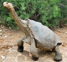 The Galapagos Tortoise is a giant tortoise, the world's largest land turtle and can weigh up to 700 pounds.