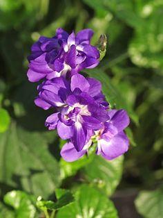 Viola odorata 'Doppia d'Udine' = 'Flore Pleno' (1903)