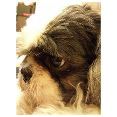 Pepper :-) #shihtzu #dog #family #philippines #シーズー #犬 #家族 #フィリピン