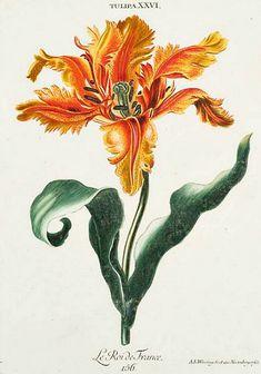 Georg Dionysius Ehret - King of France Tulip - 18th century